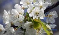 Kirschbluete.jpg
