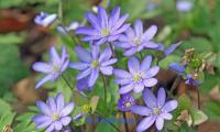 Leberblumen.jpg